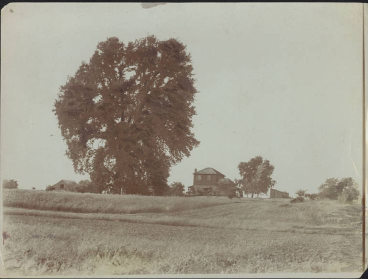 """California Historical Society Collection, 1860-1960 :: Title Insurance and Trust, and C.C. Pierce Photography Collection, 1860-1960 :: """"Largest oak tree in the world"""" near Red Bluff, 1900-1940"""