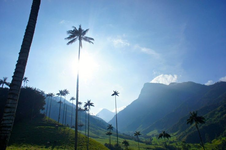 wax palm trees Valle de cocora near Salento