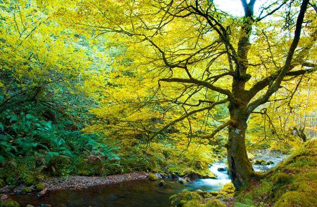 Estrenamos el otoño en el bosque encantado de Muniellos Este bosque asturiano es uno de los rincones más cotizados del otoño, cuando, sus centenarios robles y hayas visten sus mejores galas.  www.turismoeuropeo.es