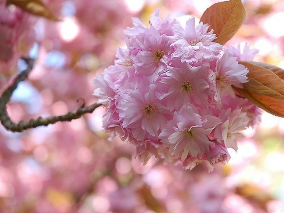 cherry blossoms #flowers #blossomsBlossoms Ball, Cherries Blossoms, Baby Flower, Beautiful Seasons, Flower Arrangements, Flower Flower, Flower Blossoms, Cherry Blossoms, Blossoms Flower