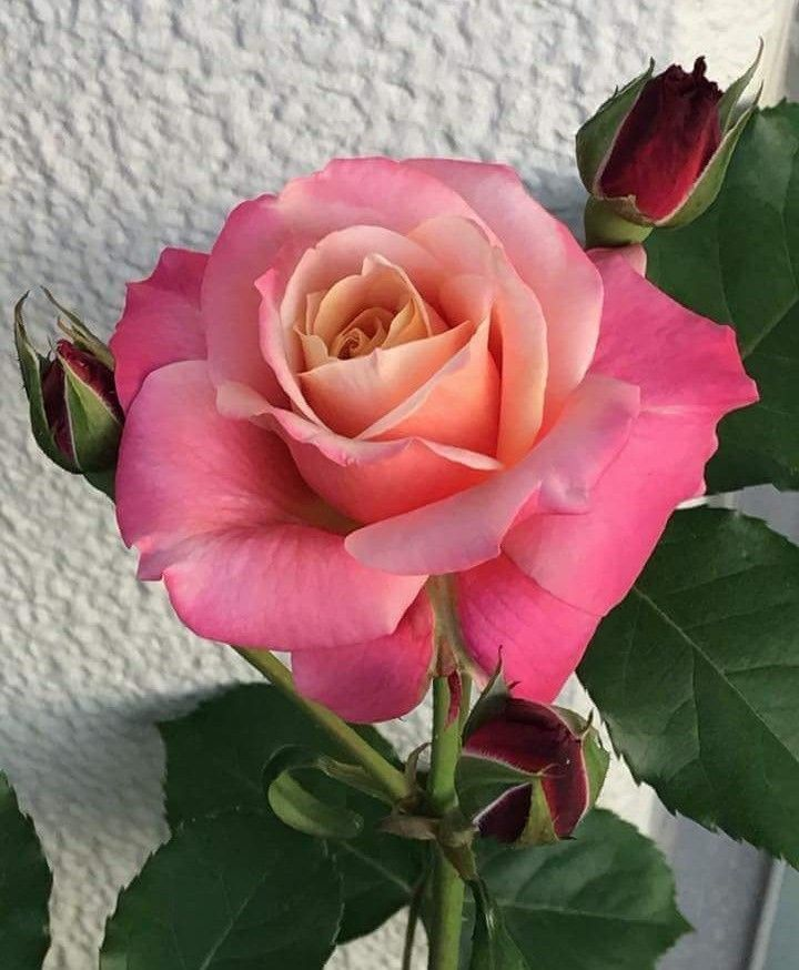My Most Favorite Rose Color Blend Hybridtearoses With Images