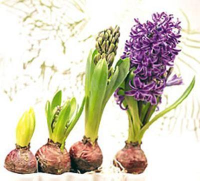 Como cuidar de Lírios. Os Lírios pertencem a família das liliaceae e para a palavra lírio existem cerca de 600 variações de espécies devido os cruzamentos de diferentes lírios, os chamados lírios híbridos. Existem aqueles q...