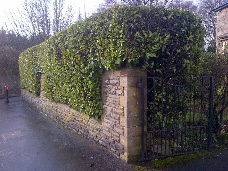 the 25  best laurel hedge ideas on pinterest