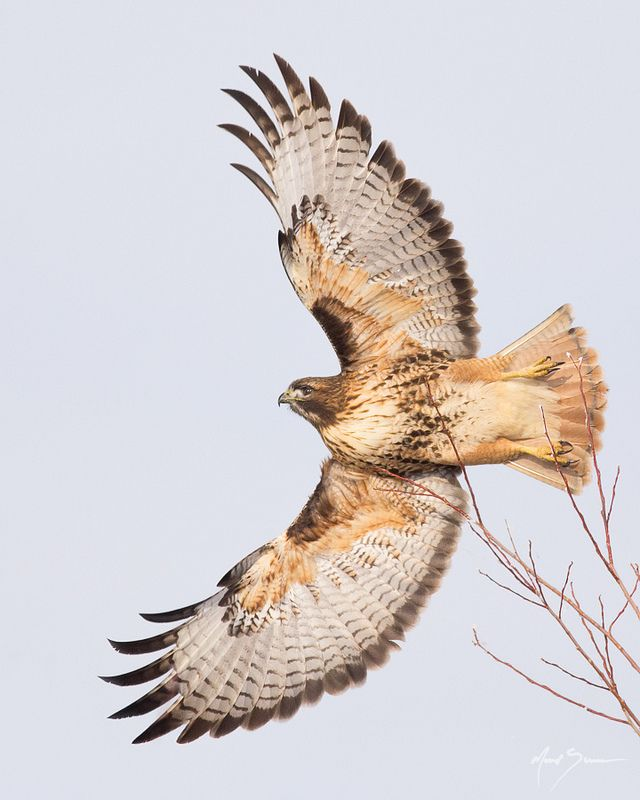 47 Best Totem Red Tailed Hawk Images On Pinterest Red Tailed