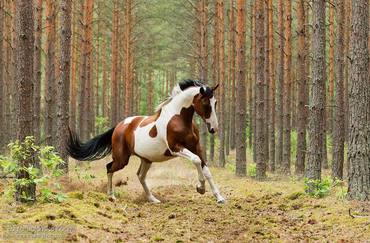In the forest.jpg - Wielkopolski gelding galoping in the forest