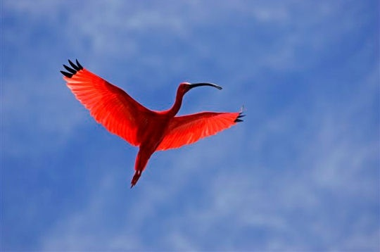 The dance of the scarlet ibis. Easily recognizable by its long beak inclined towards the bottom, the ibis has a beautiful plumage coloration which originates from the shrimp it consumes. Photo by © Tony Crocetta via linternaute.com