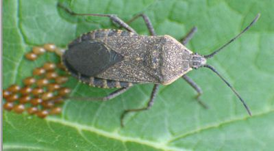 How to control Squash bugs. - The Gardening Cook  MY AREA IN SWVA ,IS INUNDATED WITH THESE THINGS THIS YEAR, I AM GLAD TO HAVE FOUND THIS! MORE IN HOUSE THAN OUTSIDE!