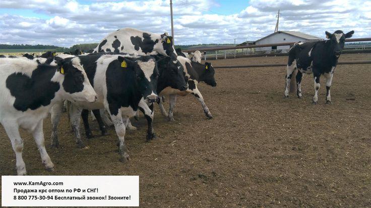 Как улучшить качество приплода КРС? http://www.kamagro.com/  Кормление коров в сухостойный период влияет на качество приплода и удои в последующую лактацию. Молочная продуктивность и состояние приплода зависят и от продолжительности сухостойного периода. Сухостойный период продолжается от 45 до 75 дней в зависимости от возраста, упитанности и продуктивности