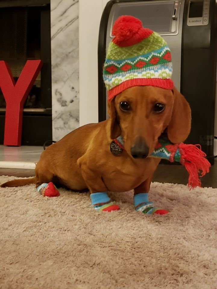 5 Nutrition Tips For Healthy Dachshunds In Winters Winter Comes