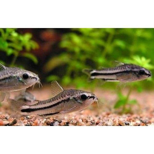 Le corydoras pygmeus doit vivre en banc de 6 minimum, et, malgré sa petite taille, ne doit pas vivre en nano aquarium puisque ce poisson est un bon nageur: il faut donc lui prévoir un aquarium de 80 litres minimum