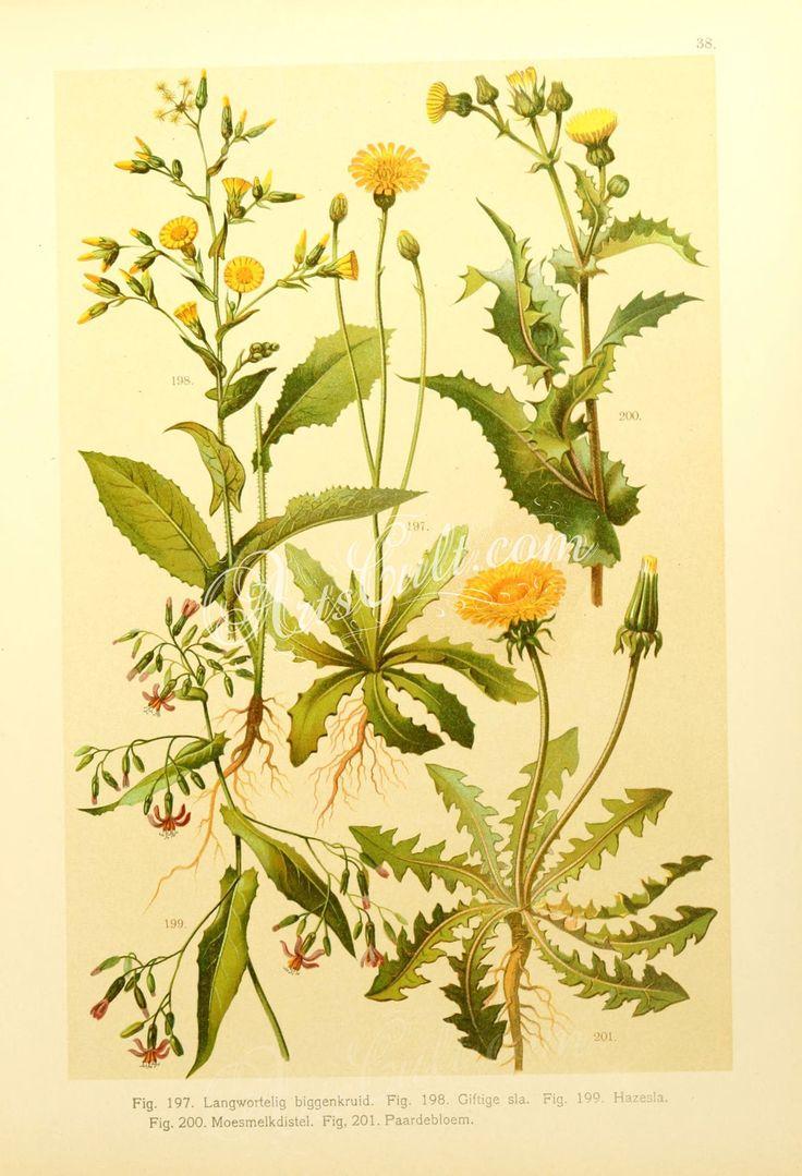 hypochoeris radicata, taraxacum officinale, lactuca virosa, prenanthes purpurea, sonchus oleraceum      ...