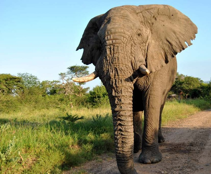 Ellies in the Hluhluwe Umfolozi park with Heritage Tours and Safaris