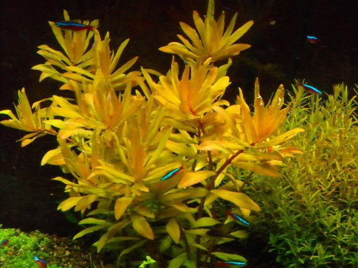14 best aquascape moss images on pinterest aquarium for California fish planting