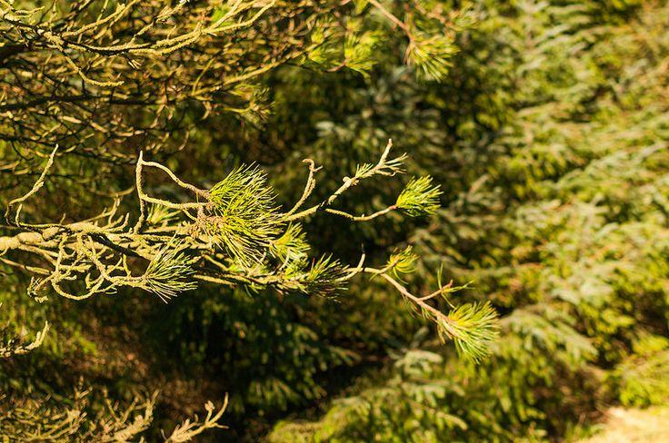Pine branches, Ticknock mountian, Ireland