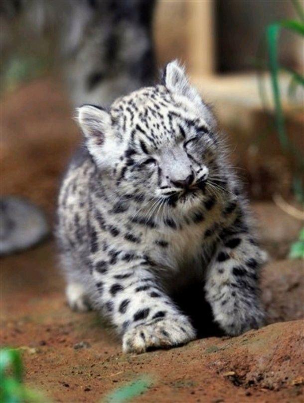 A smiling baby #SnowLeopard *heart melts* Awwww!