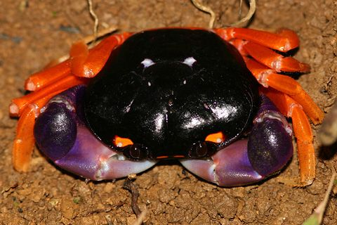 Halloween Crab (Gecarcinus quadrates) - Halloween Crabs are quite attractive with a black carapace, orange legs, and purple claws. Because they are terrestrial and so colorful, Halloween Crabs are sold as exotic terrarium pets. In the wild, these nocturnal land crabs live in small burrows in the coastal jungles of Costa Rica.