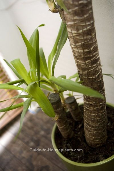 Yucca elephantipes - Yucca Plant Care Tips, Picture