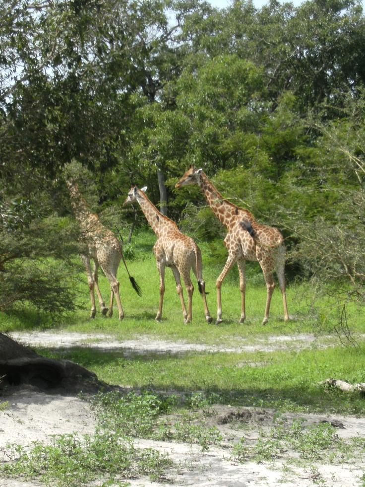 Girafes, Safari a Senegal
