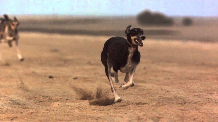 Desítka nejstarších psích plemen světa (II.): Aristokrat saluka