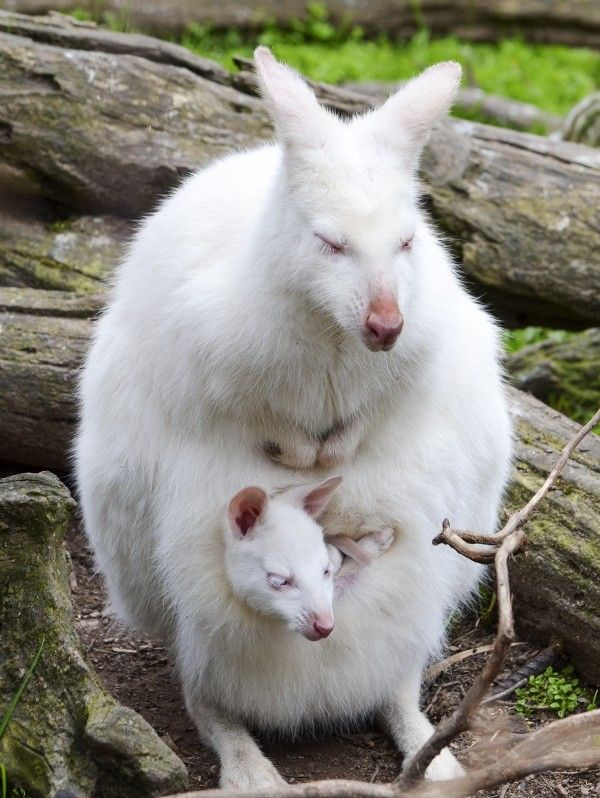 An albino wallaby-- and young at Gorge Wildlife Park in Australia in 2014. Description from pinterest.com. I searched for this on bing.com/images