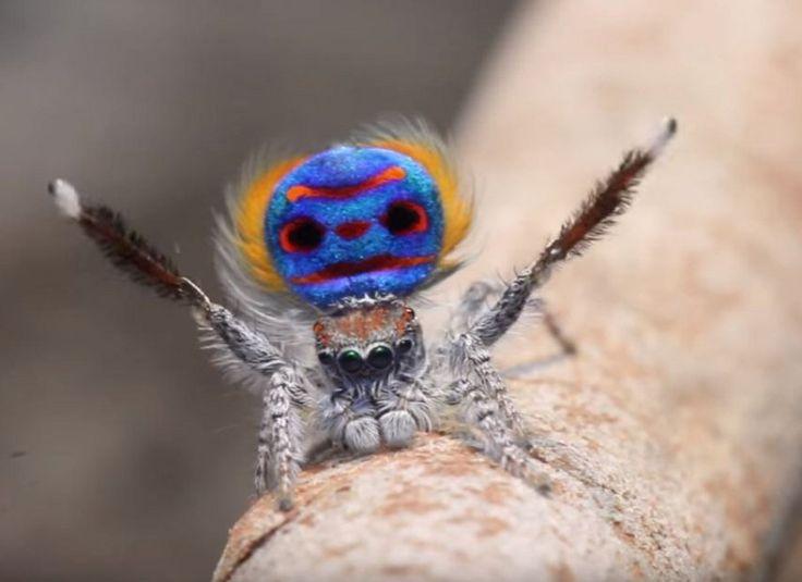 """Altri sette esemplari si aggiungono alla famiglia di ragni pavone in Australia. Un genere di aracnidi, definito """"Maratus"""", che conta già 48"""