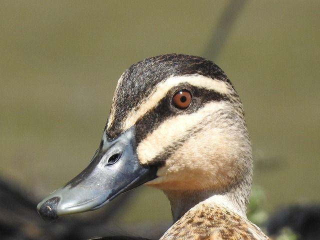 Photo By shellandshilo | Pixabay   #duck #bird #nature