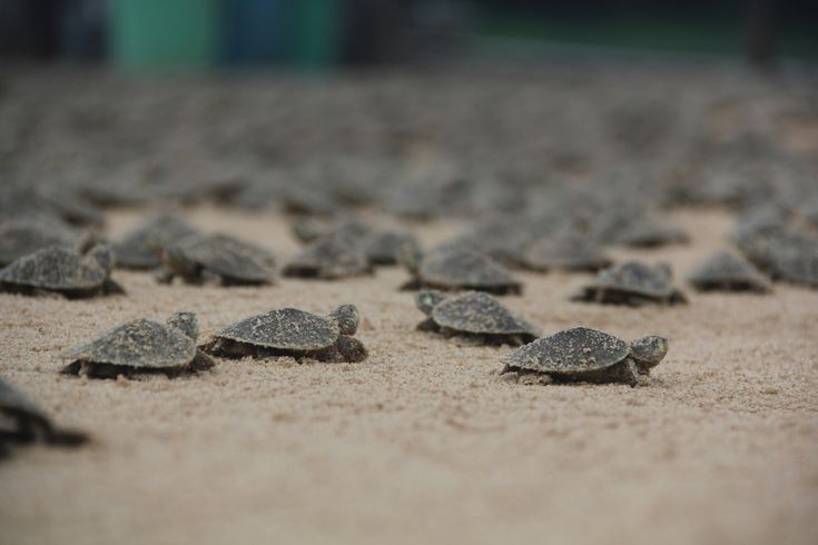 Turtle Hatchings