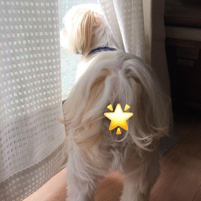 #水曜日はおちり祭り 🌟 ・ ・ 今週は… お願いおちり〜〜🍑 ・ 「雨止んだかな〜? お散歩行けますように」🐶 ・ じっと外を見つめる姿 可愛すぎる〜😍 (親バカ🙇♀️) ・ ・ #犬#愛犬#シーズー#マルチーズ #ミックス犬#わんこ#いぬバカ部#shitzu#maltese#shitzusofInstagram#malteseofInstagram#mydogiscutest#ilovemydog#dogsofInstagram#doglover#doglife#instadog#instagood#love#lovedogs#cutedog#follow#pawsforjolie#❤️迷子犬の掲示板応援団#病気のお友達に元気玉