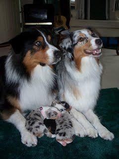 Australian Shepherds: Proud Papa and Momma