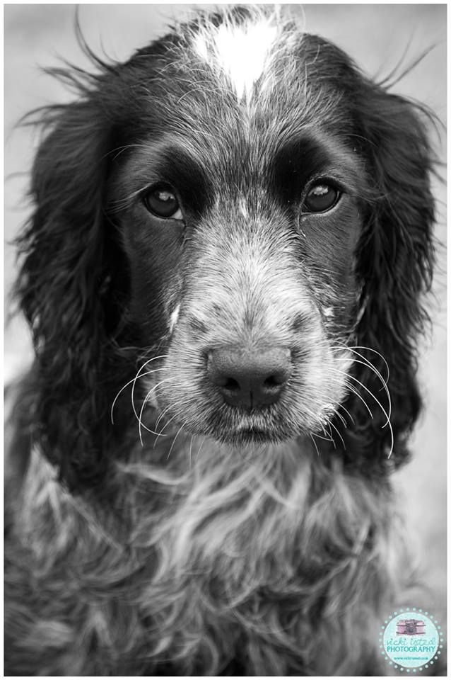 Seren - my beautiful Blue Roan Cocker Spaniel puppy!  www.vicki-isted.co.uk www.facebook.com/vickiistedphotography