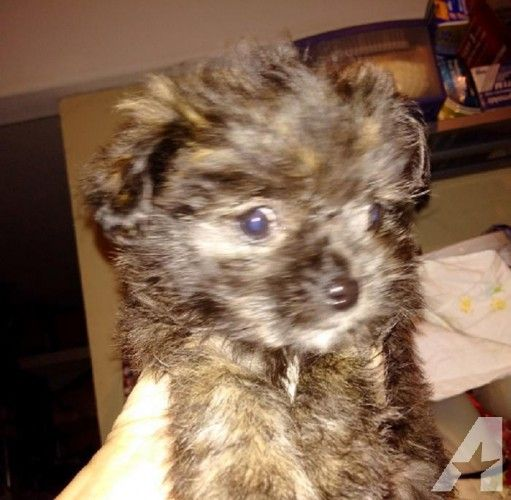 Gorgeous Shorkie Female for Sale in Hayward, California Classified   AmericanListed.com