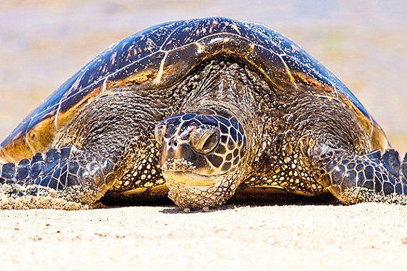 Hawaiian Green Sea Turtle Basking on a by PRPhotographyAndArt, $23.00