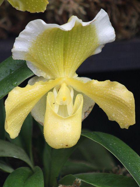 Slipper-Orchid - Paphiopedilum