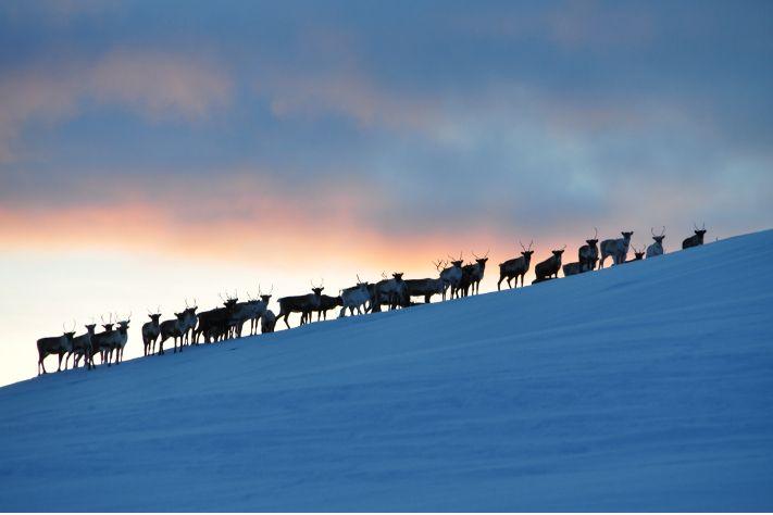 """Da iskappen la seg kvelende over landet for om lag 115.000 år siden, ble planter, dyr og fugler langsomt presset ut til et liv sør for iskanten i Nord-Tyskland og Polen. Omtrent 100.000 år senere startet """"hjemreisen""""."""