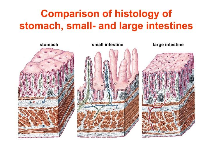 Comparison of mucosae of stomach,small and large ...