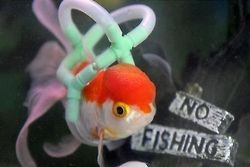 """""""Einstein the Fantail Goldfish lost the use of his fins when he developed swim bladder which affects his buoyancy. His owner therefore made him a special fish-friendly life jacket and now he is able to keep afloat again."""""""