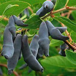 Nyhet! Lonicera caerulea var. kamtjatica 'Uspiech'. Växt: Höjd: 1,5 - 2 m. Medelstor, med stela, upprätta stjälkar. Bären mognar under andra halvan av juni-början av juli. Idealisk för både odlingar och den egna trädgården. Samplantera med andra sorter för bästa skörd.  Bär: Mörkblå, nästan svart. Bären är medelstora (1,6 g). Harmonisk söt och syrlig smak, utan spår av bitterhet och strävhet. Mycket god.