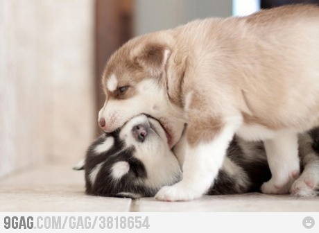 haaa: Cute Animal, Kiss, Dogs, Siberian Husky, Pet, Bath Salts, Baby Husky, Faces Off, Husky Puppies