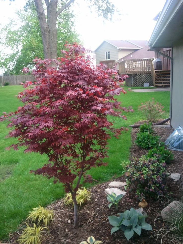 Japanese maple fireglow  for front yard to the right of the driveway