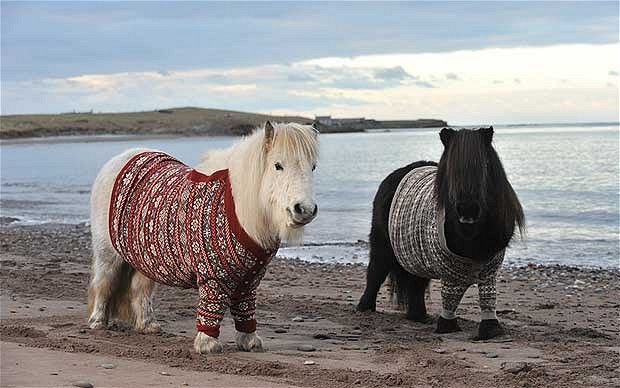 Yes, I WILL one day own a Shetland pony in a woolly jumper. SO adorable!