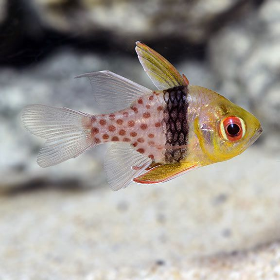 Pajama Cardinalfish Saltwater Aquarium Fish Marine Fish Reef Safe Fish Cool Fish