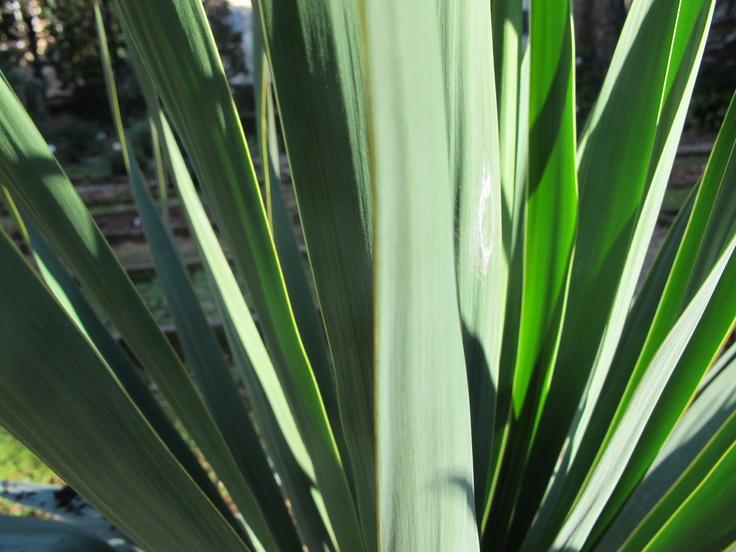 Yucca gloriosa. January