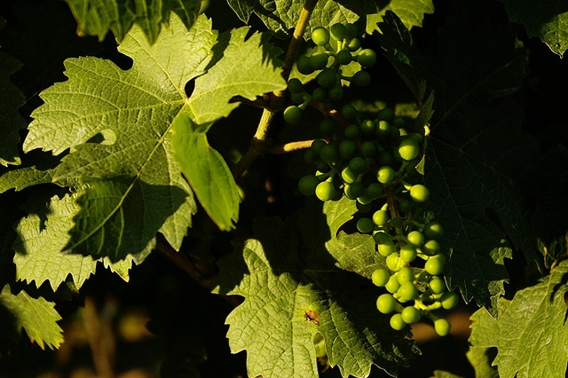 Moravian #Wine