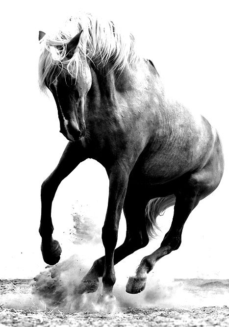 Whauw, stallion, wild, beauty, horse, hest, animal, beautiful, gorgeous, movement, photo b/w.