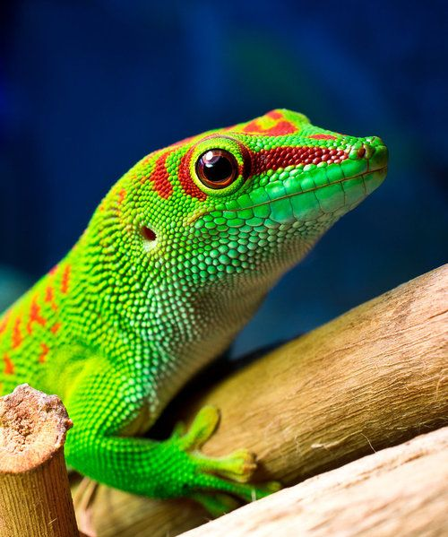 1000+ images about Lizards on Pinterest   Leopard hunting ... - photo#37