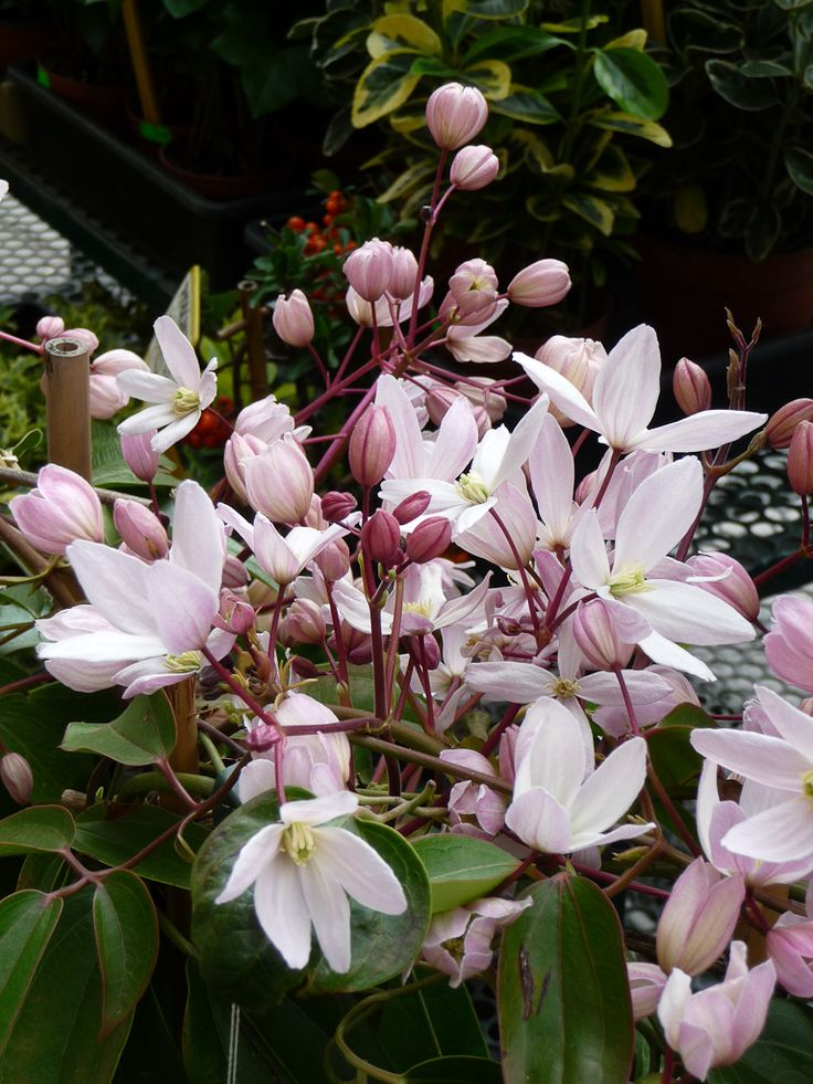 Armand Clematis ' Apple Blossom' with its bright pink buttons and small flowers in soft pink sweet scent of orange blossom enhanced by hints of vanilla is a popular evergreen clematis.