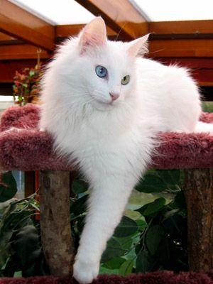 Le chat Angora turc est un chat intelligent, malin et curieux. Il découvrira vite comment ouvrir une porte de placard  et examinera attentivement tout nouvel objet débarquant dans son environnement. Il est très joueur et très affectueux. Il vous suivra partout et n'hésitera pas à vous sauter sur les épaules.