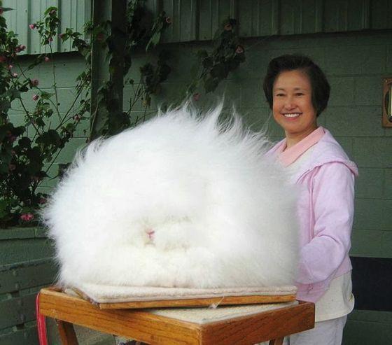 世界でもっとも毛深いウサギが想像のはるか上だった件