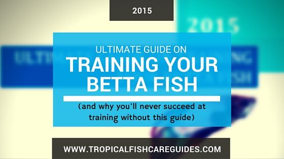 Learn to train your betta fish tricks with this for Betta fish care guide