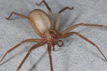 Brown Recluse Spiders: Facts, Bites & Symptoms